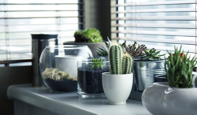 kwiaty doniczkowe - kaktusy